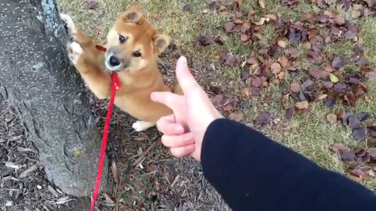 "This Shiba Inu dog knows what to do when cops arrive, just ""Spread 'em"