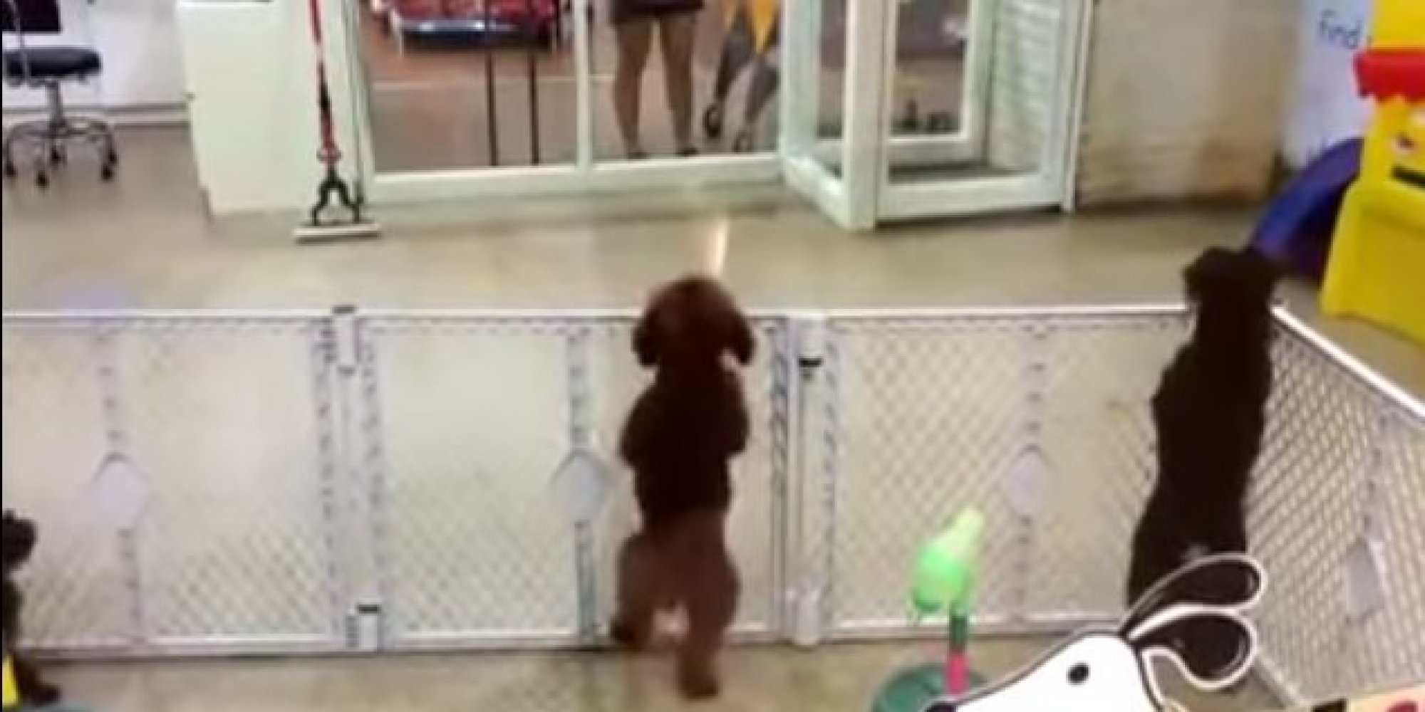 When this Bichon Frise spotted his owner, he acted like this, and it's unbelievable.