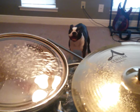 This Boston terrier dog figured out the perfect way to make his owner stop drumming!