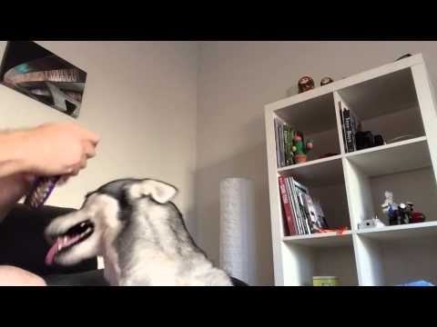 Sasha the Husky dog refused to wear the annoying collar in a very funny way.