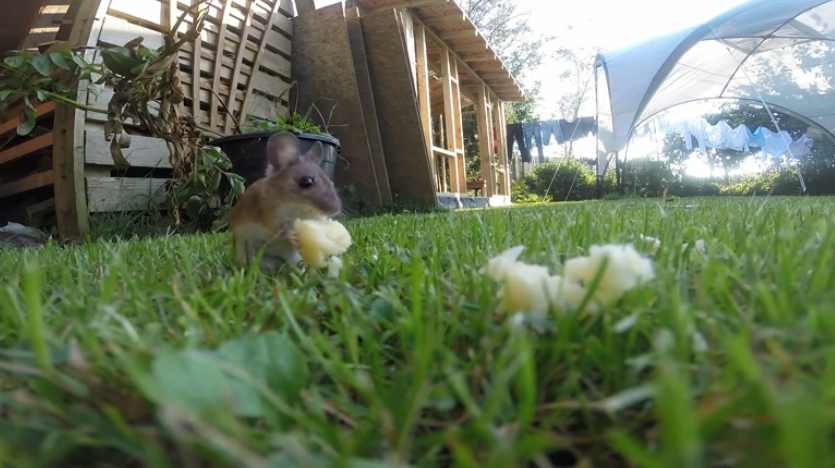 A man captured this little mouse eating cheese using his GoPro Camera! Adorable!