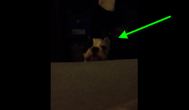 A French bulldog asking his owner if he could get on the bed.