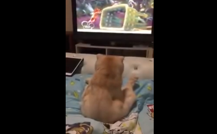 A cat watching her favorite TV show, and she is not ready to miss a part of it!