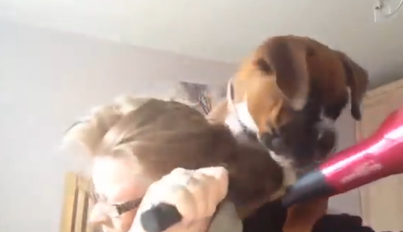 A boxer dog doesn't want his owner to dry his hair; it's the hair dryer battle!