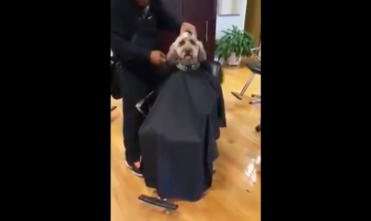 A cool Poodle dog visits the Hair Stylist! What happened next is adorable!