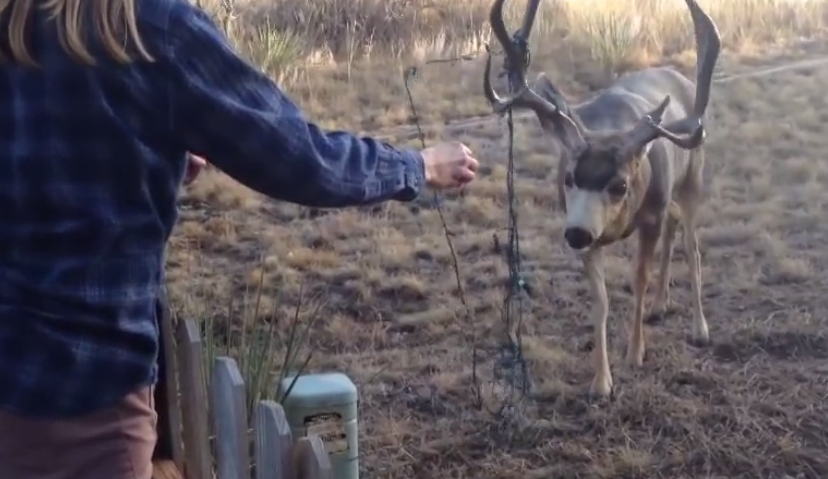 A family saved a deer tangled in Christmas lights! They made unthinkable effort