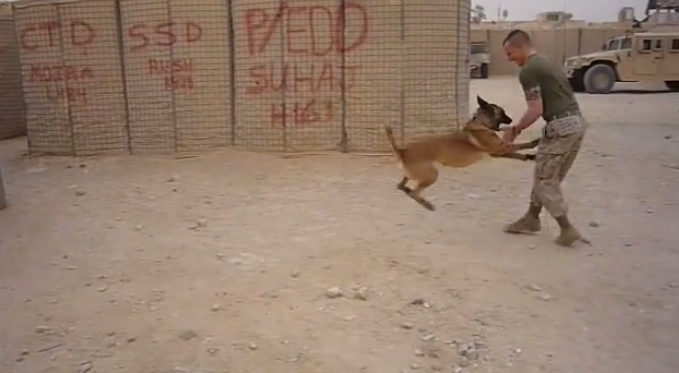 A Belgian Malinois Military dog trying his new boots, the way he reacted to them is hilarious!