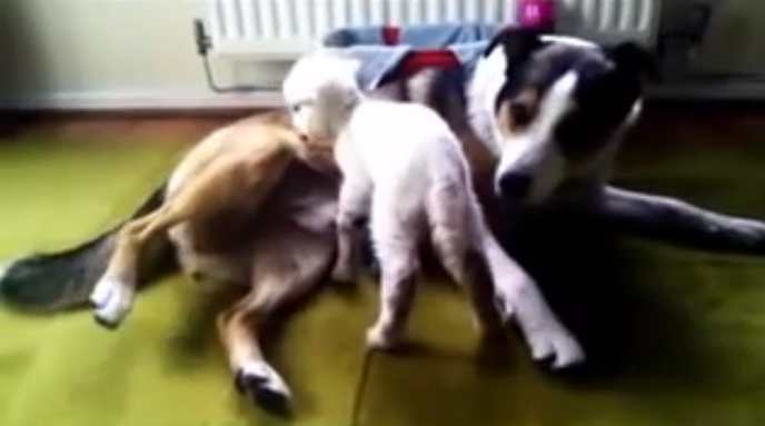 After her mother died, the little lamb had a Border collie dog friend to look after her! It's totally adorable.