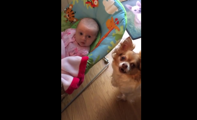 A Chihuahua dog doing something adorable to the baby! It's lovely.