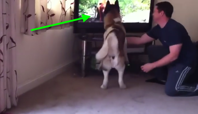This Akita dog was watching TV, what happened when he saw the bear was HILARIOUS!