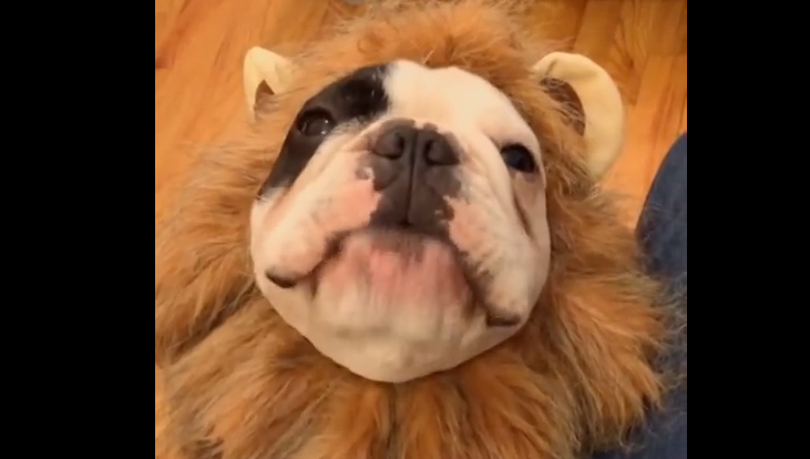 Meet Manny, the talking Frenchie Lion.