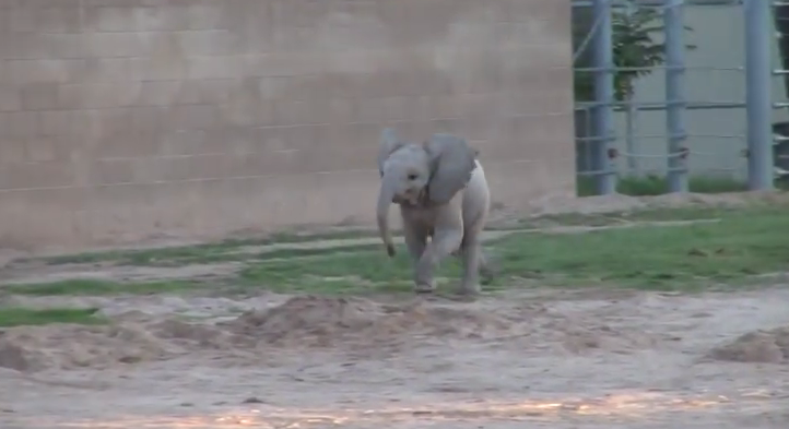 This is what the baby elephant does when the zoo keepers come to her!