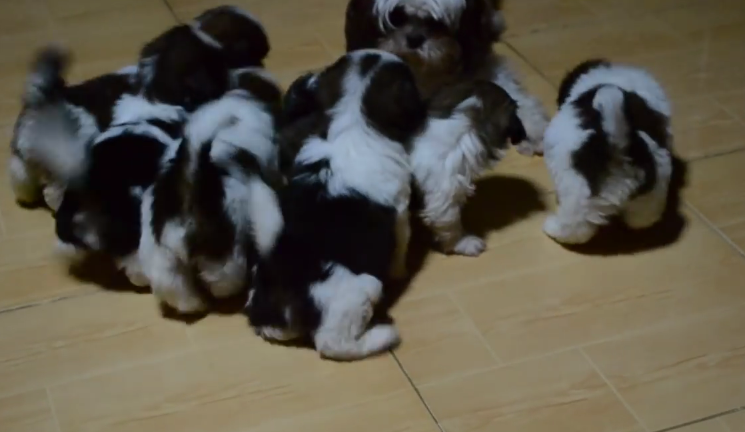 Cute shih tzu puppies getting out of the box for the first time 1 25 2015 1 34 31 am fandeluxe Choice Image