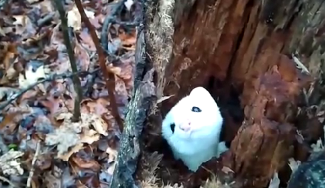 A cute Stoat playing peek-a-boo with that man! It's amazing