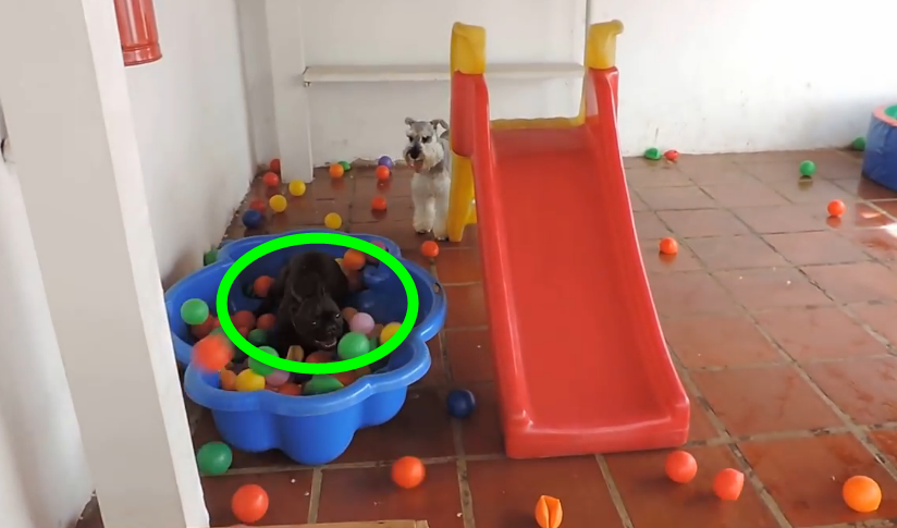 A French bulldog enjoying swimming in a ball pit, it's adorably hilarious.
