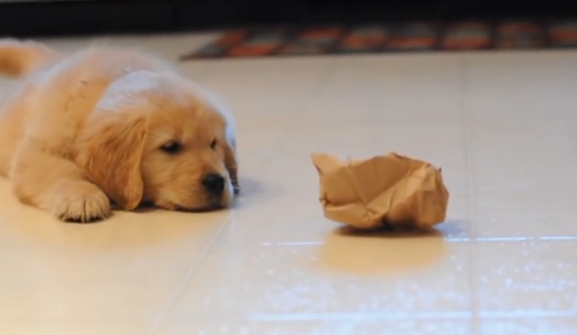 A battle between a Golden Retriever puppy and a lunch bag, it's totally hilarious!
