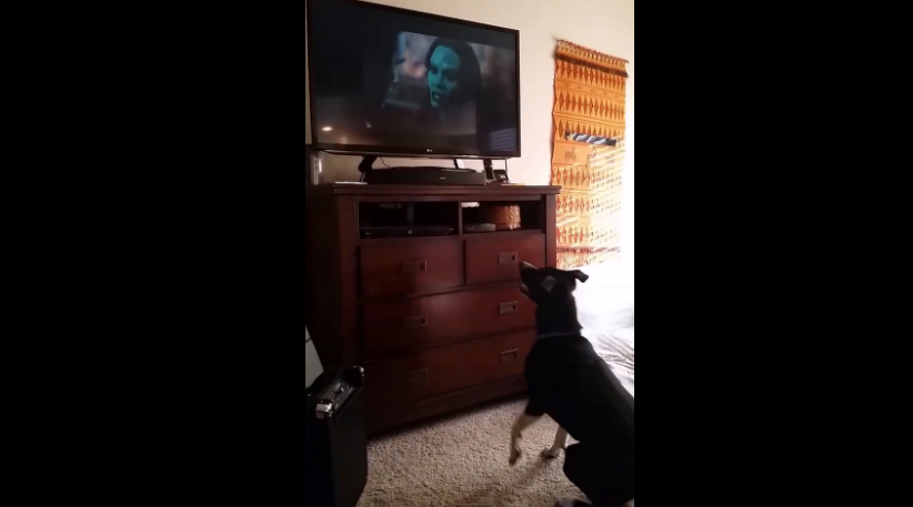 This dog is a fan of Rocket Raccoon; see what she did when she saw it on TV.