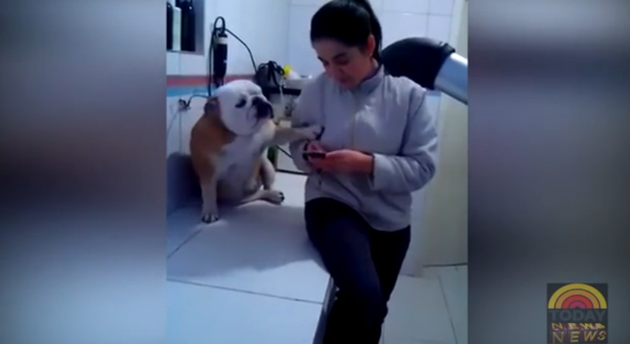 This bulldog is demanding attention in the cutest ways!