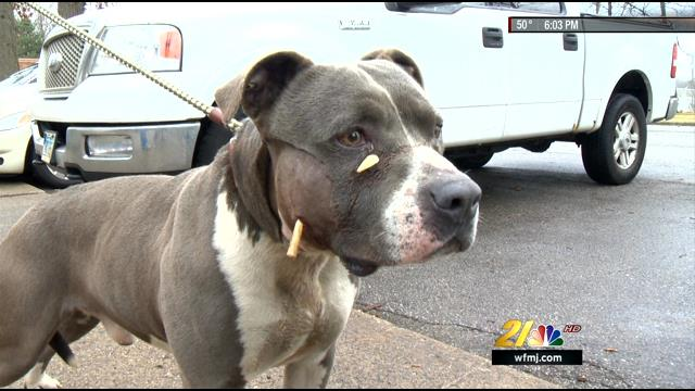 Her pit bull dog went messing, and he was back with an arrow lodged in his face.