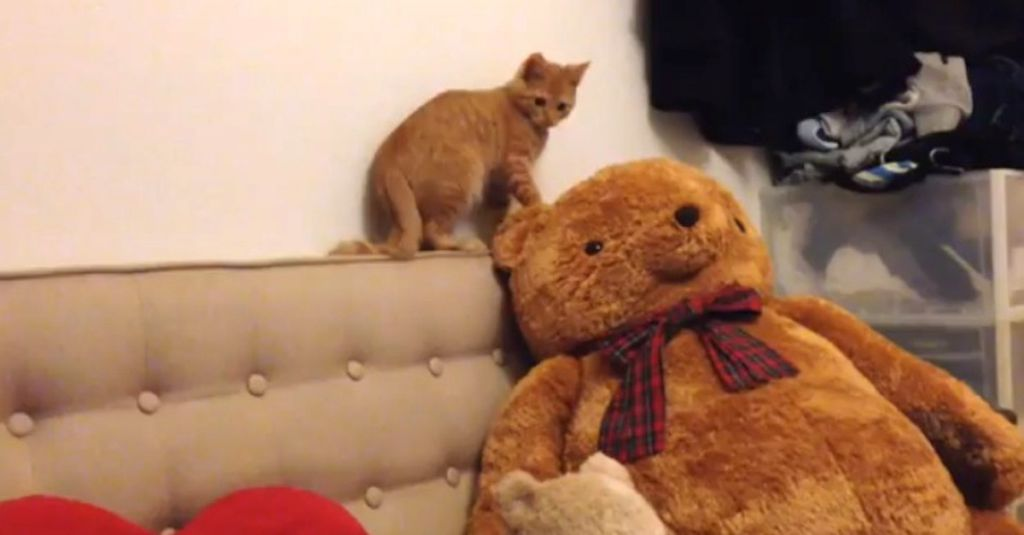 The owner brings a new teddy bear; the way her cat reacts is HYSTERICAL!