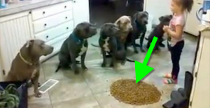 A 4 years old girl controlling 6 pit bull dogs at their feeding time! Mind Blowing.