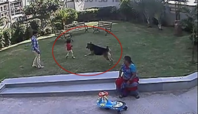 A German shepherd dog attacking a 15 months old girl for more than 10 minutes!