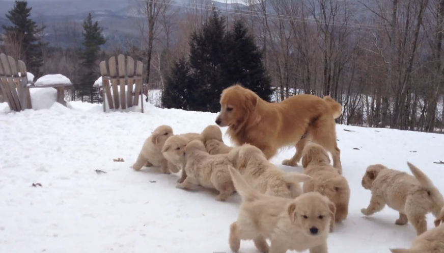 A Golden Retriever mother playing with her pack of puppies, and they are incredibly cute.