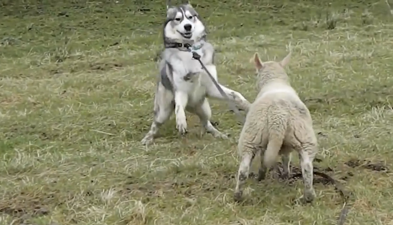 A Lamb and a Husky dog enjoying their playful time together, it's adorable!