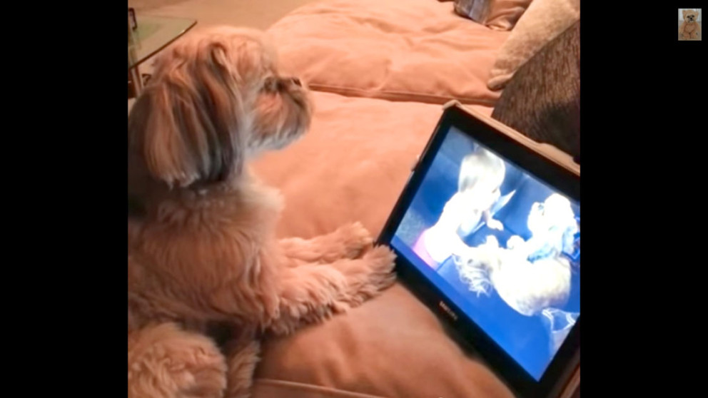 A Shih Tzu dog watching a video of another dog and started singing with it.