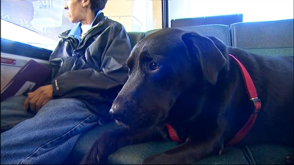 A black Labrador dog rides buses alone without his owner! It's Unbelievable!