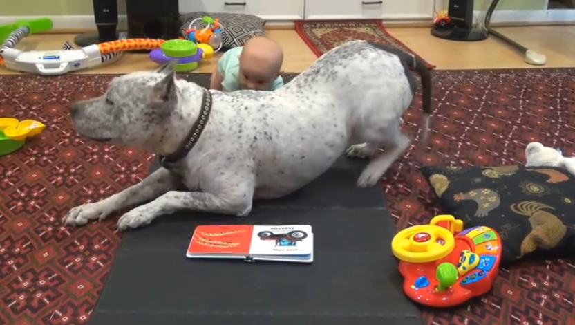 A cute pit bull dog shows the little baby how to crawl, it's precious.