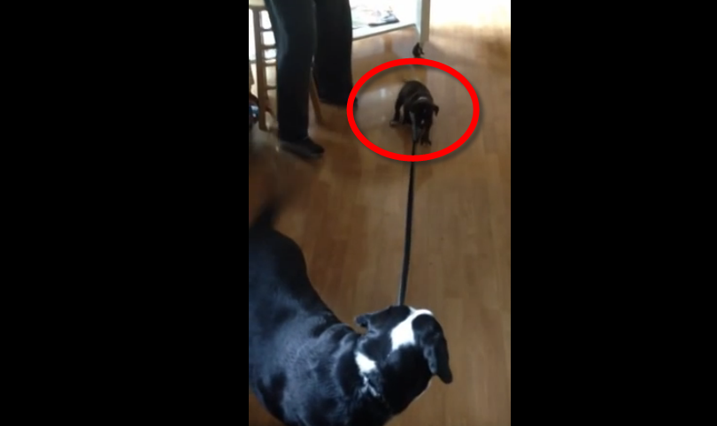 A puppy wants to take her new dog friend for a walk, what happens next was very funny.