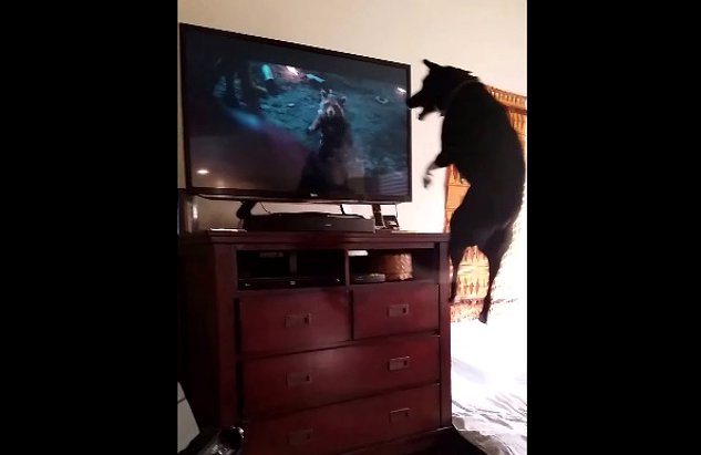 Dog-trying-to-watch-TV..-VERY-FUNNY