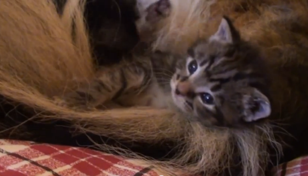 A German shepherd dog adopted orphan kittens and she is acting like a mother!