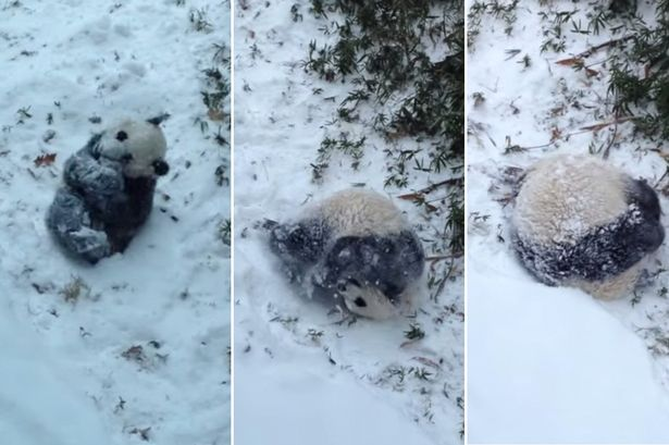 Panda-roly-poly-in-the-snow