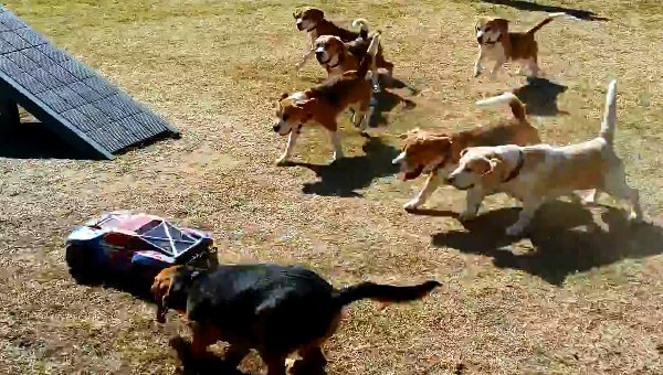 A pack of beagle dogs chasing a remote controlled car!