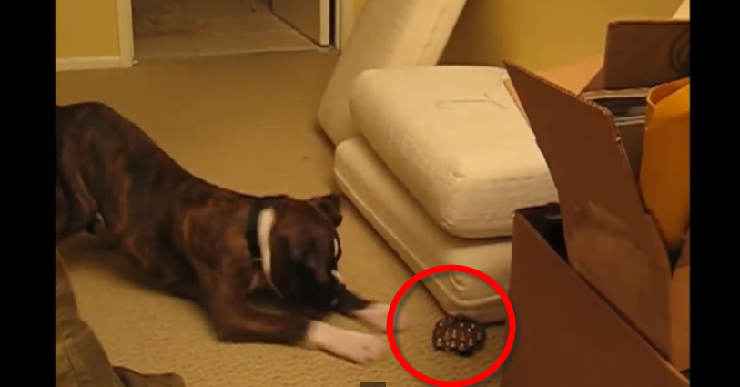 When the owner of this boxer dog brought him a new toy, he reacted in a very funny way