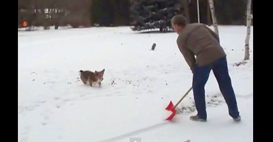 A cute corgi dog doing acrobats while his owner is shoveling the snow