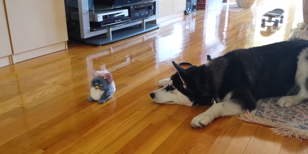 Watch this first meeting between a husky dog and the talking Furby!