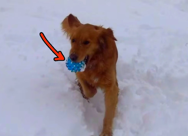 This Golden Retriever dog is so confused because of his squeaky ball! It's totally hilarious.