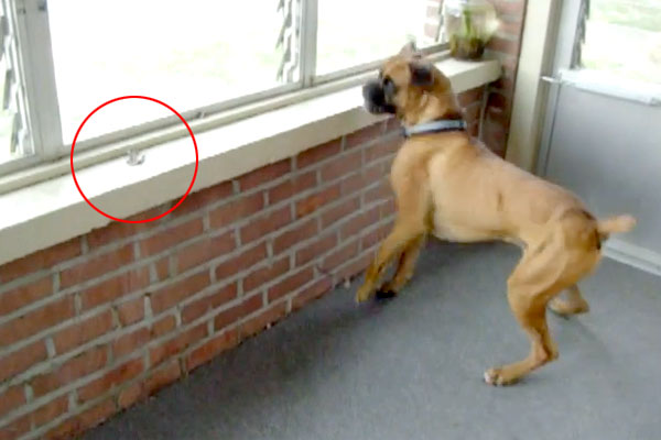 Epic battle between a boxer dog and a leaf! You won't stop laughing at this.