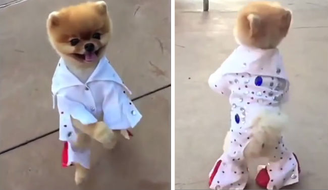 FUNNY! A cute Pomeranian dog imitating Elvis Presley.