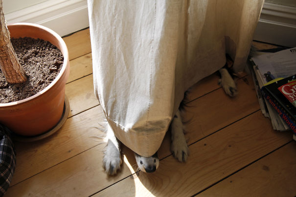 20-Another dog hiding behind a curtain. Sorry doggie, we still can see you.