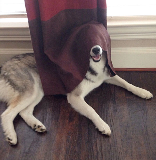 6-This dog thought that curtains were the right place to hide… Maybe not.