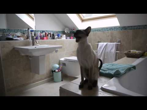 siamese-cat-facts-video