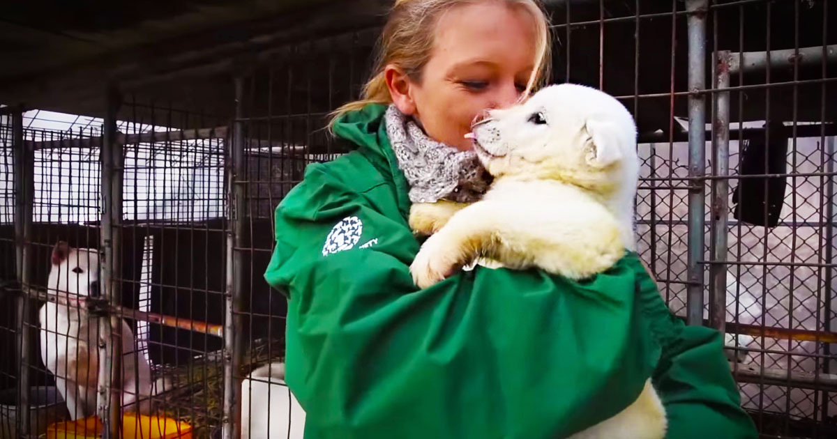 The Human Society rescued 23 dogs from a dog meat farm, before they become a dinner!