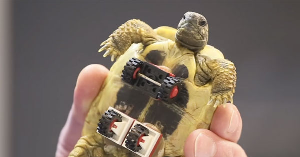 This turtle has a new wheel chair made of Lego bricks!