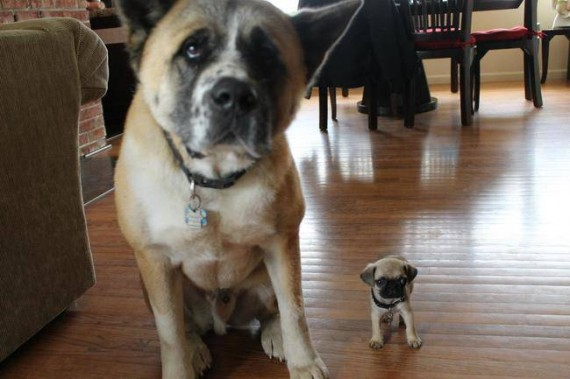 10- A mini me version of the old dog, isn't it cute?