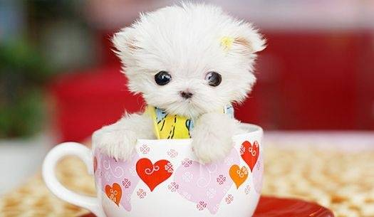 17- Another puppy that fits in a tea cup!