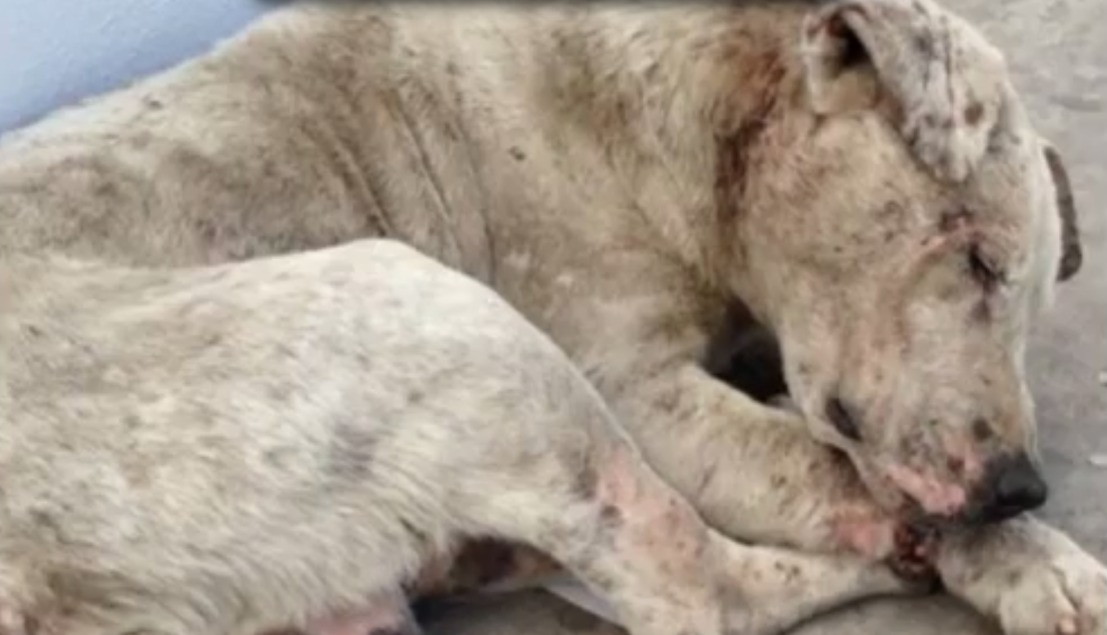 A dog found homeless, full of wounds. It's horrible, but the end is worth everything.